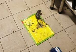 הדברת עכברים באמצעות מלכודת