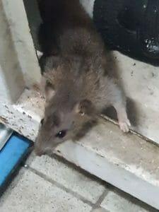 הרחקת חולדות ועכברים