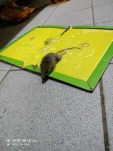 לכידת עכבר במלכודת דבק
